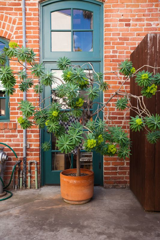 potted Euphorbia: Potted Plants, Brick, Paint Colours, Euphorbia Tree, Euphorbia Plant, By, Euphorbia Lambii, Garden, Potted Euphorbia