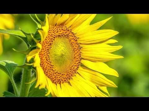 Octavian Serban: Sun Flower dance