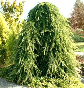 Kigi Nursery - Cedrus deodara ' Pendula ' Weeping Himalayan Cedar, $20.00 (http://www.kiginursery.com/cedars/cedrus-deodara-pendula-weeping-himalayan-cedar/)
