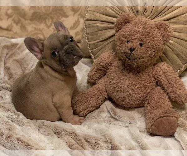 French Bulldog Puppy For Sale In Weatherford Tx Usa Adn 189566