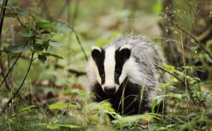 Dying Badger Cries Will be Used to Judge Humaneness of Cull