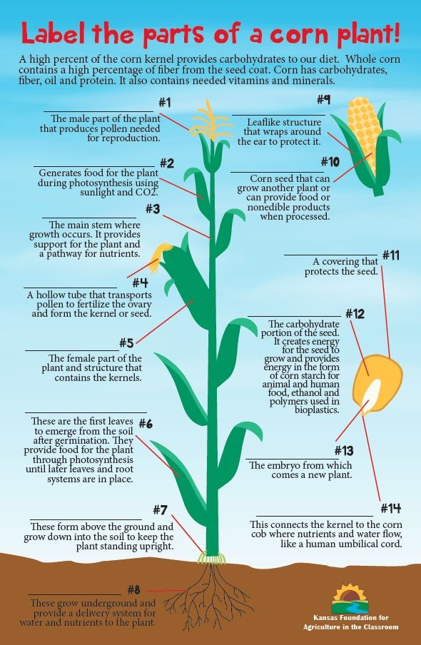 Introduce Students To The Parts Of The Corn Plant With This Fun