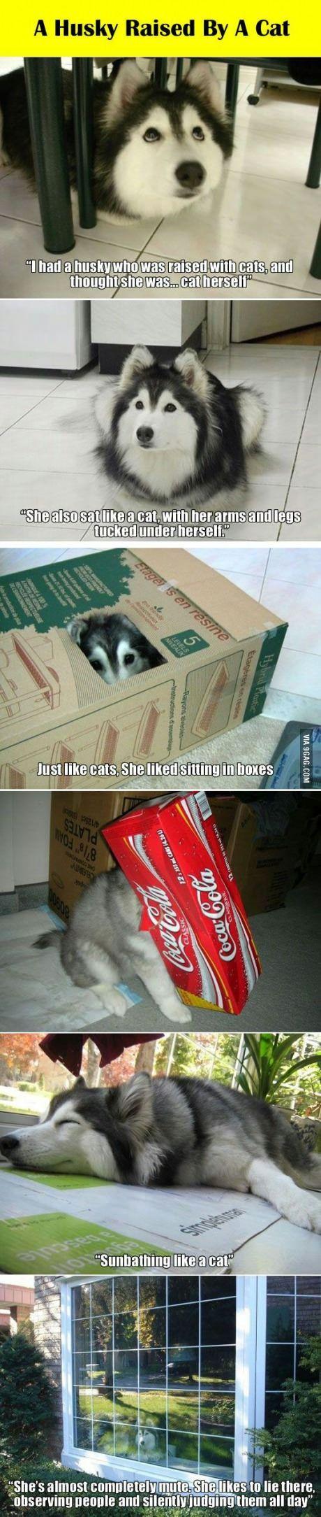A Husky Raised by a Cat