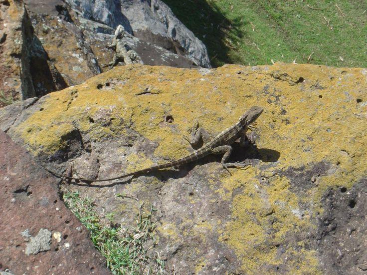 Dragon Lizards, Point Danger, Coolangatta, Gold Coast, Australia