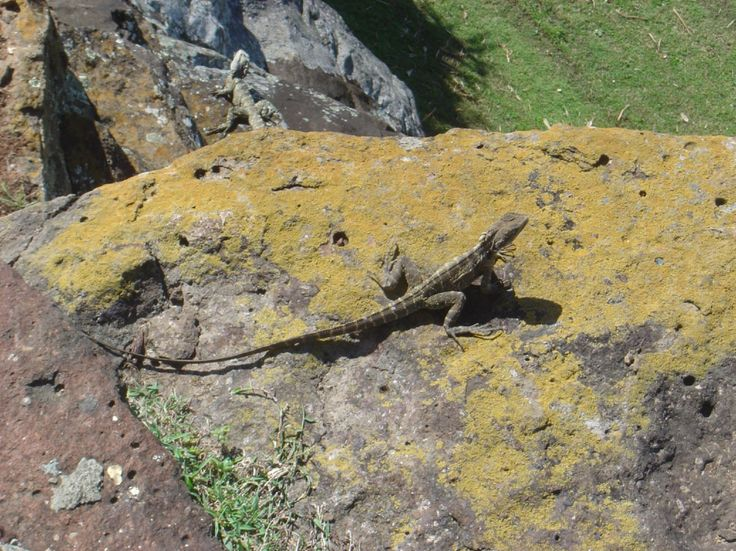 Dragon Lizards, Point Danger, Coolangatta, Gold Coast, Australia