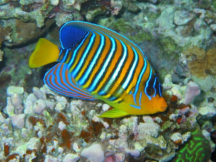19 best under water images on pinterest marine life nature and spectacular colors of the royal angelfish an exotic underwater beauty of the great barrier reef publicscrutiny Images