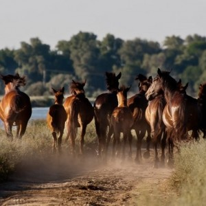 Wild Horses still roam free in the Danube Delta