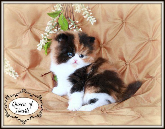 Traditional Calico Teacup Persian Kitten