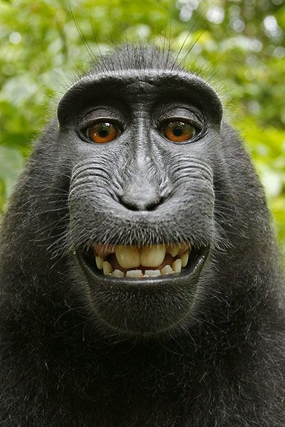 """Monkey self-portrait! // """"Shutter-happy monkey turns photographer - in pictures""""  The Guardian, July 5, 2011"""