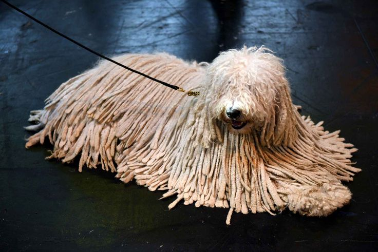 Komondor                                                                                                                                                                                 Plus