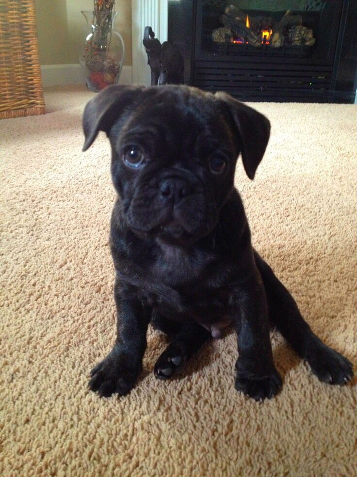 French bulldog and a Pug cross