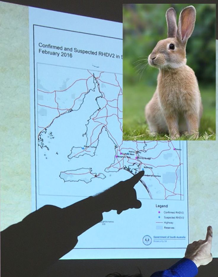 How to protect your rabbit from the new strain of RHD calicivirus.