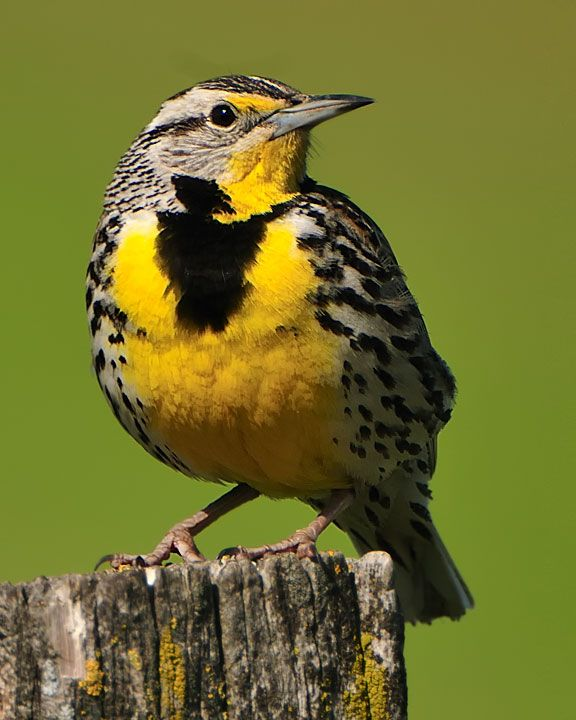 Western Meadowlark, Montana's State Bird...not only beautiful but sings beautifully too!. The  state birk for Kansas, Montana, Nebraska, North Dakota, Oregon and Wyoming.