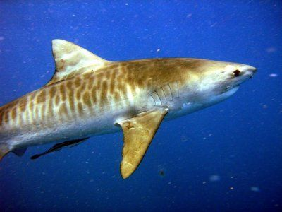 Le requin tigre (Tiger Shark): Agressif et responsable de nombreuses attaques, il vit près des côtes dans les eaux tropicales et tempérées. Il est facilement reconnaissable avec ses rayures sur le dos (il porte bien son nom)