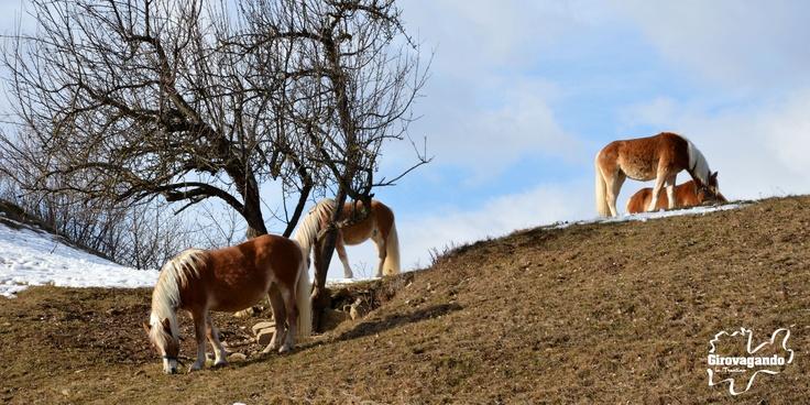 Cavalli avelignesi  Alcuni degli animali ospitati nei prati attorno a Malga Candriai