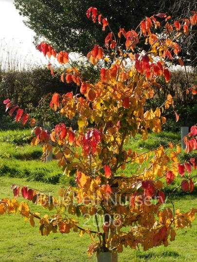 Parrotia persica 39 vanessa 39 persian ironwood an for Unusual small trees