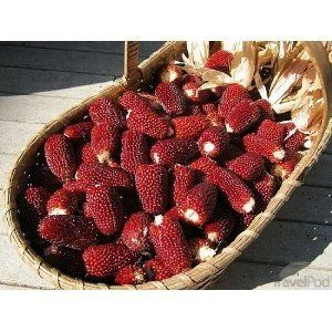 Hinterland Trading Strawberry Corn 50+ Ornamental Popcorn Seeds Kids Love It ! Great for Small Gardens by Hinterland Trading. $0.99. Eye-catching unique addition to the back of the flower border or vegetable garden. Kids love to watch the ruby red kernels magically turn white when popped!. The diminutive strawberry-shaped ruby red ears on these compact 4' stalks are an eye-catching unique addition to the back of the flower border or vegetable garden. Planting the...