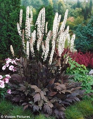 "Cimicifuga racemosa. 'Black cohosh' is a large, shade-loving perennial from North America. Also can be found under the name ""Actaea"""