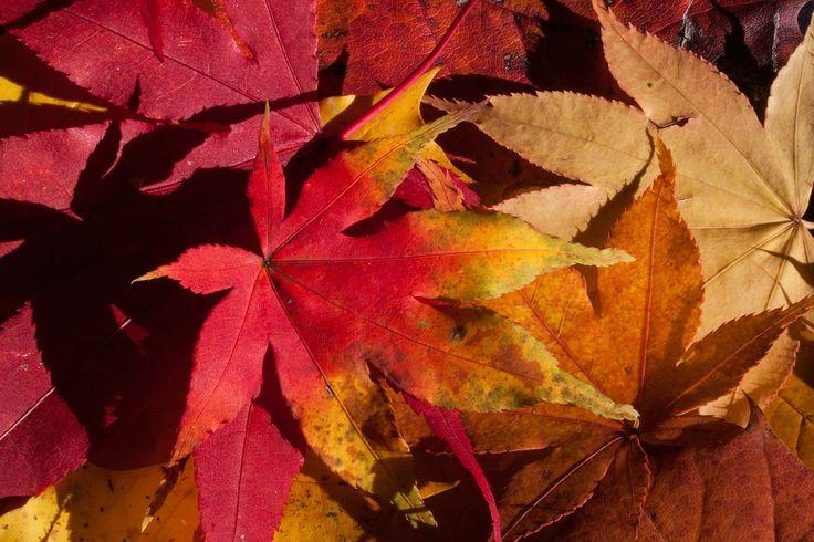Musim Gugur, Jatuh Dedaunan, Emas Musim Gugur, Daun