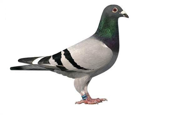 Recognition Of Physical Attributes of Racing Pigeons | Pigeon ...