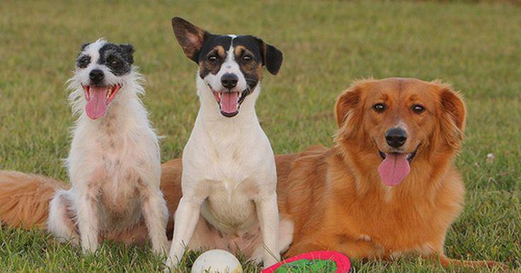 O que causa a petéquia e a falência renal em cachorros?. Muitos cães acabam por sofrer de falência renal ou de petéquia ao longo de suas vidas. Há duas formas de falência renal: a aguda e a crônica. A petéquia é um distúrbio que causa sangramentos excessivos na pele e nas membranas mucosas. De acordo com os especialistas da vetconnet.net, ela é geralmente causada por um outro problema de saúde.