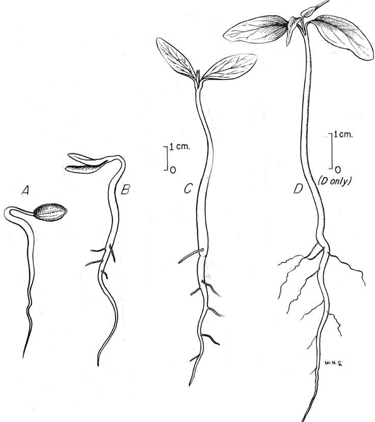 plant seedling drawing