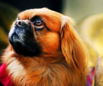 Best Cute Puppy Names For Pekingese Best Cute Puppy Names Dogs