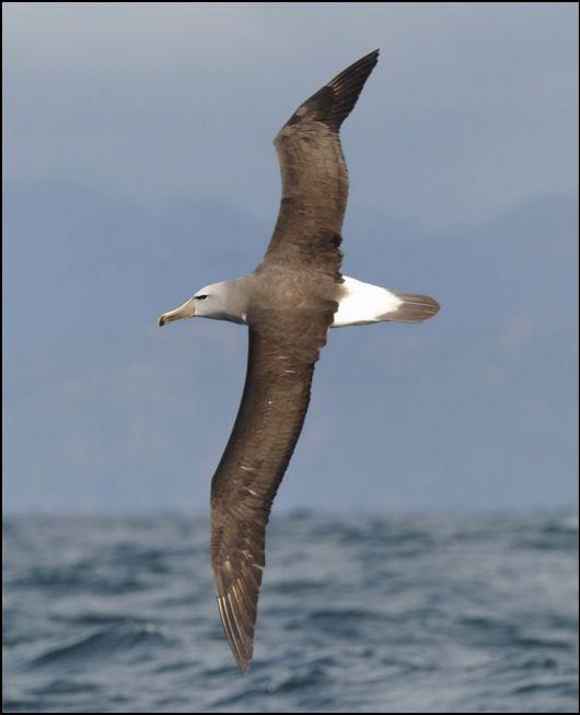 Salvin's Albatross- Kaikoura- New Zealand-jk