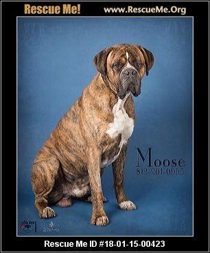 ― Indiana Bullmastiff Rescue ― ADOPTIONS ―RescueMe.Org