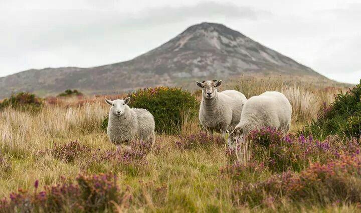Овцы, вереск и Сахарная Голова