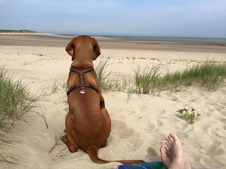 Out of the office today! #bossmo #officedog #vizsla