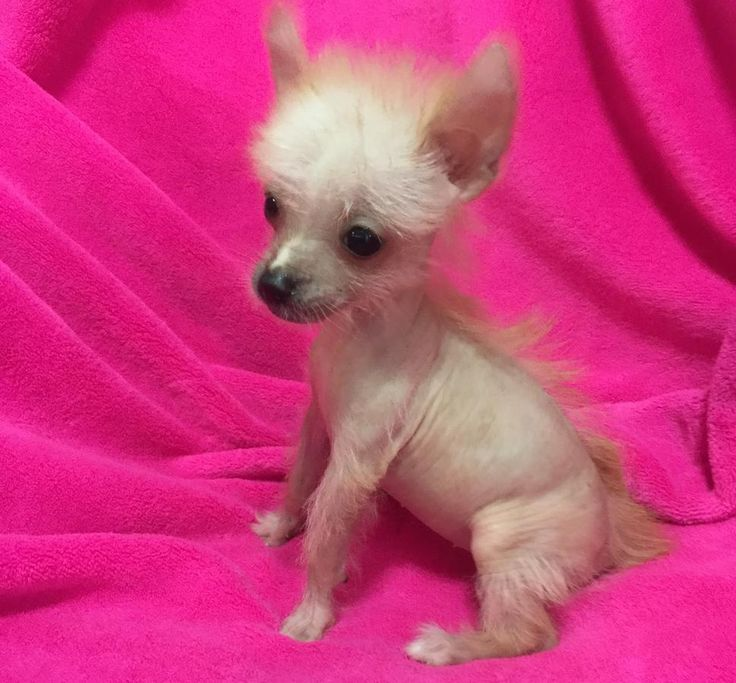 Female Chinese Crested Hairless Teacup In Hoobly Classifieds