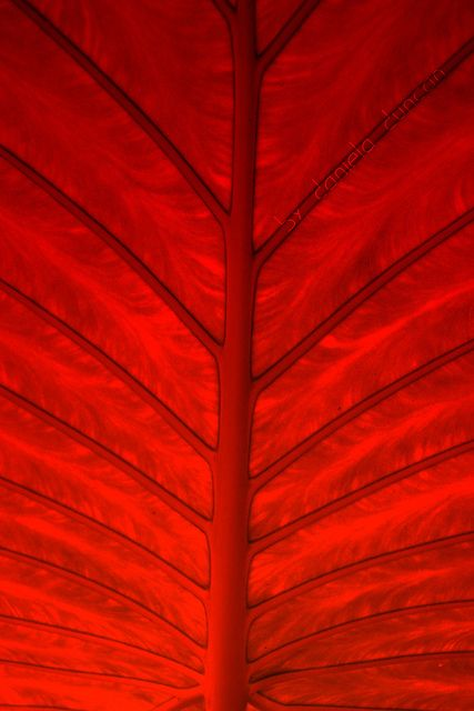 ♥: Hot Red, Colors Red, Red Leaf, Going Red, Color Red, Leaf Patterns, Red Leaves, Red Red, Colour Red