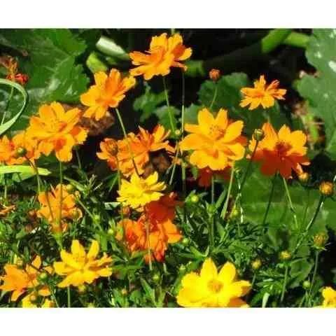 cosmos enanos surtidos flores anuales semillas para plantas
