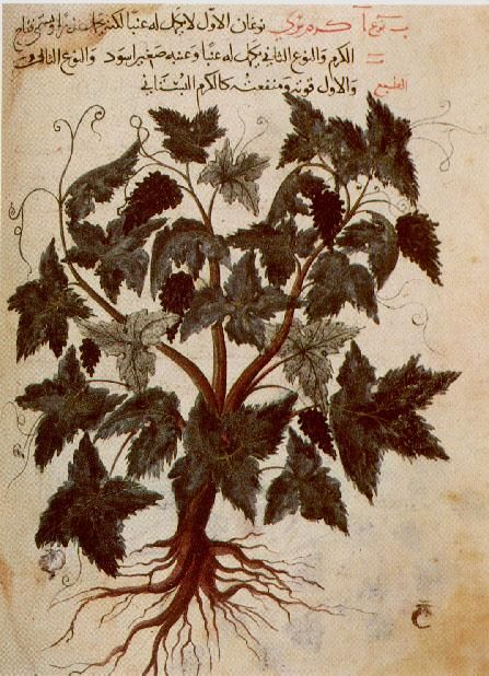 from an Arabic translation of the Materia medica by Dioscorides 1229 A.D.