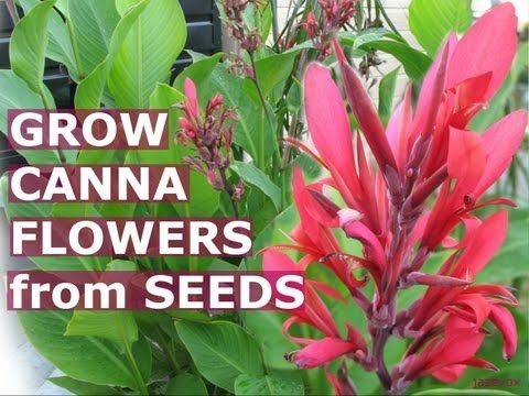 VIDEO, click to watch. Learn how to grow Canna flowers from seeds and learn how to multiply your existing Canna flowers by collecting its seeds, germinating them, growing them and planting them in the ground for you to enjoy the flowers years after year. http://www.gardenersland.com