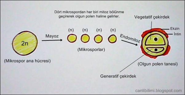 Polen oluşumu: Polen keselerinde bulunan mikrospor ana hücreleri (2n), mayoz bölünme geçirerek dört tane (n) kromozomlu mikrosporları meydana getirirler. Her bir mikrospor, bir defa endomitoz bölünme geçirerek iki çekirdekli bir yapıya sahip olurlar. Burada dikkat etmemiz gereken nokta, endomitozun çekirdek bölünmesi olduğunu bilmektir. Dolayısıyla iki çekirdekli bir hücre meydana gelir. İşte bu yapıya polen denir.