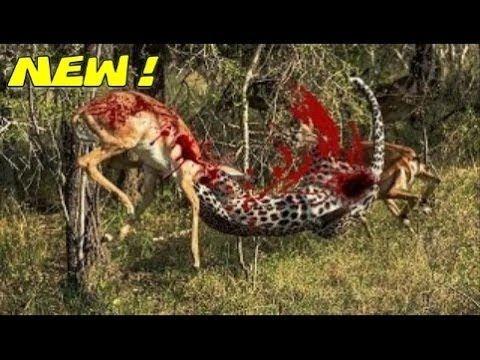 Os ataque de animais selvagens - animais selvagens - Jaguar ataque búfal...