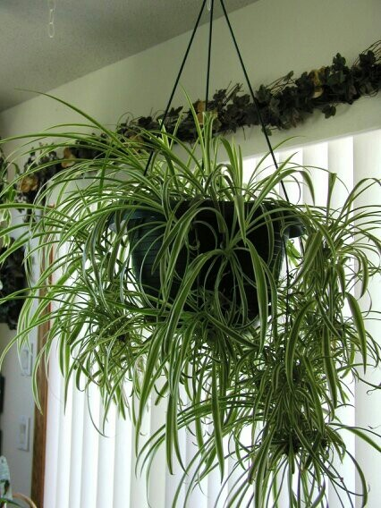 19 best spider plant images on pinterest spider plants for Low maintenance indoor hanging plants