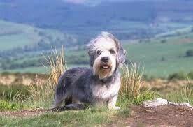Dandie Dinmont Terrier, Scotland
