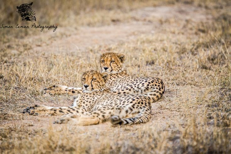 Hello everybody! I hope everyone is enjoying their weekend. Here is another beautiful picture I took of two sub adult Cheetahs on the reserve! As always they were quite relax, enjoying the sun!  As you all know Cheetahs can run pretty fast but did you know that Cheetahs are born with a white mane on their back that make them look like Honey Badgers? Almost all animals fear Honey Badgers so this naturally protects Cheetah cubs against predators! #cheetah #wildlifephotography #wildlife