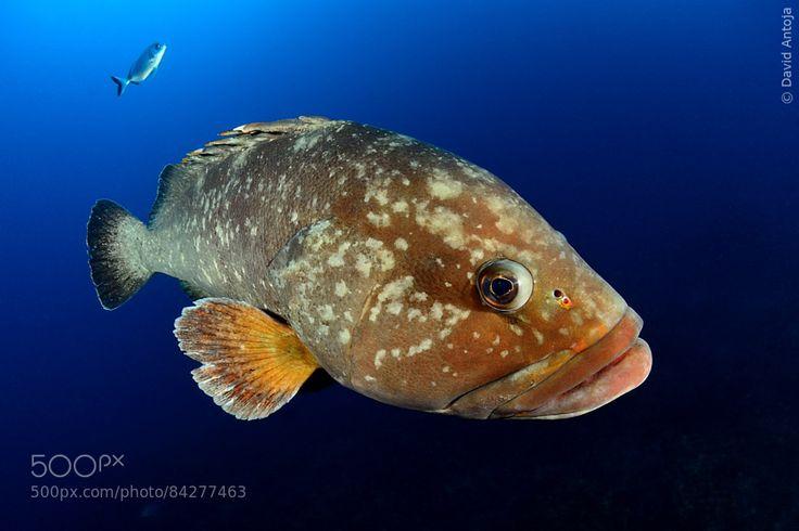 Grouper by davidantoja