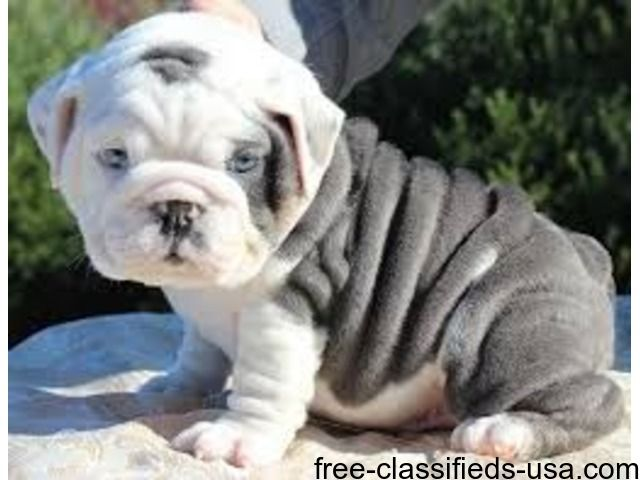 Wonderful English Bulldog Puppies For Adoption Cute Baby Animals English Bulldog Puppies Puppies