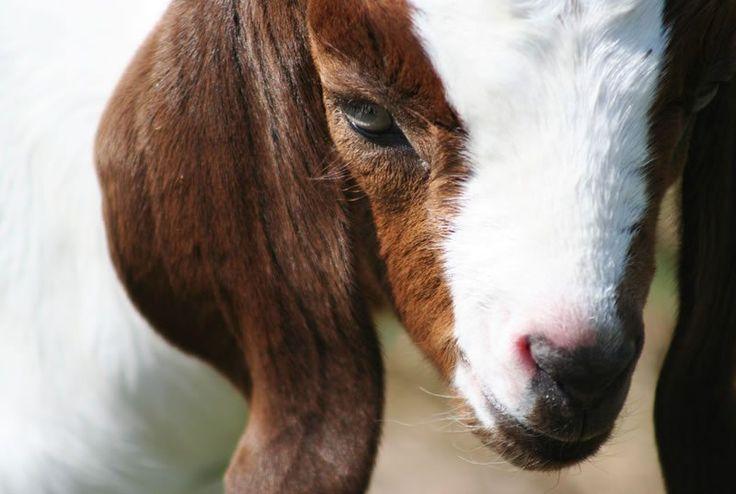 Historia breve e Información básica sobre el cuidado de las cabras de raza Boer.