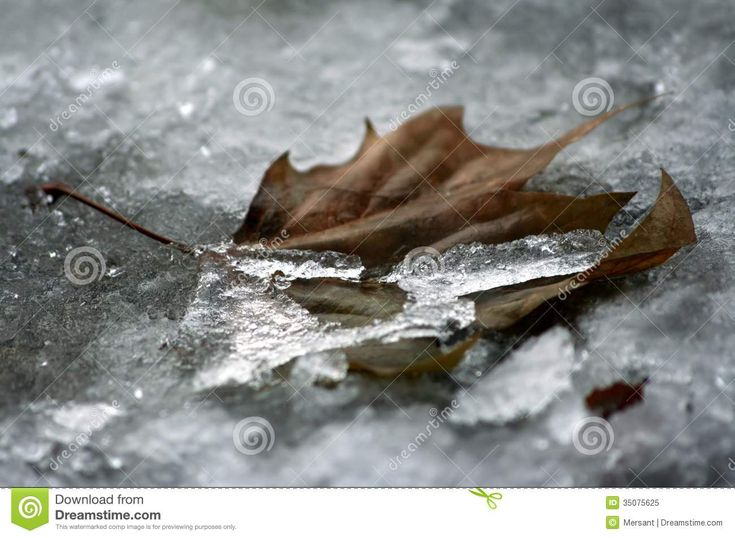 An old leaf in ice