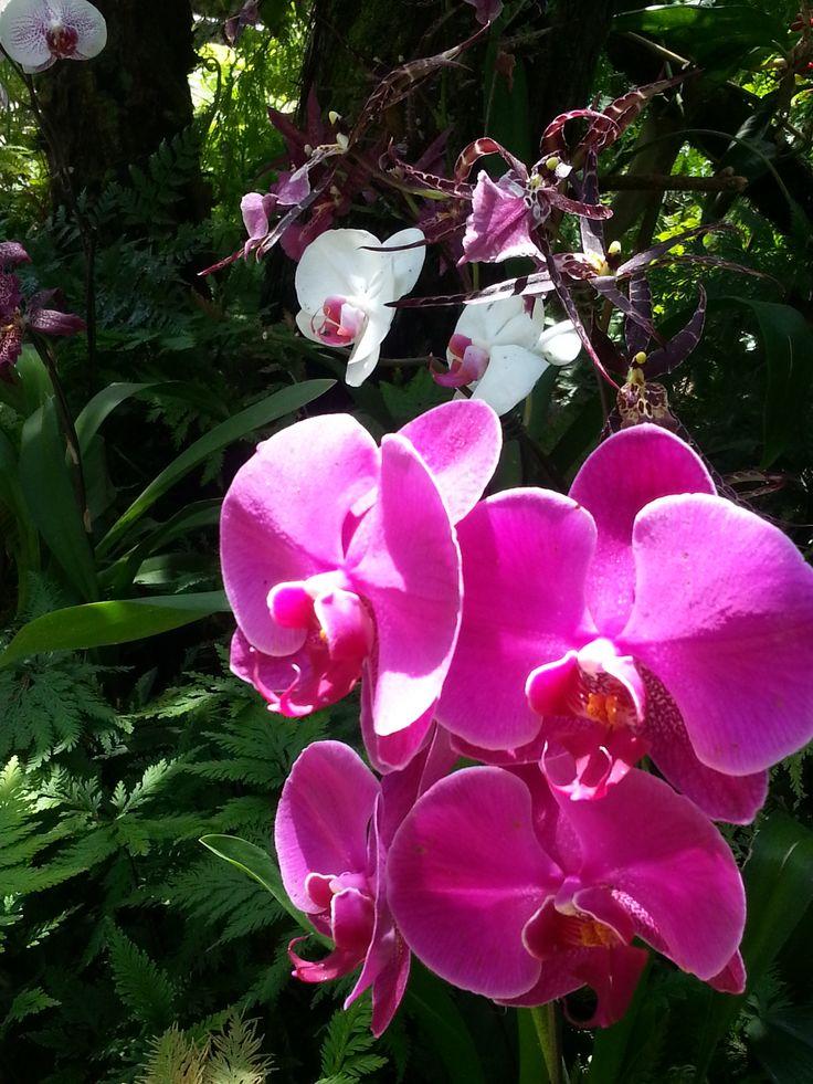 Hawaii Orchidea saját fotó, amely a helyi  botanikus kertben készült.