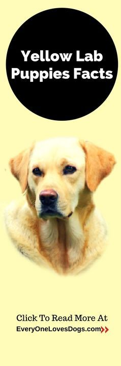 Click to read more about - Yellow lab puppies facts - and many many more interesting dog articles