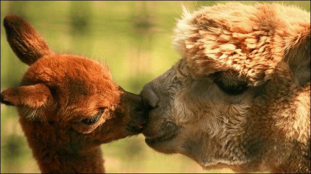 かわいいキス魔たち、アルパカのキス写真20枚