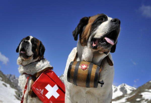 救助犬の元祖とも言えるセントバーナード犬。セントバーナード犬は、かつてはスイスのグランサンベルナール峠にある修道院修道院で修道士たちとともに暮らし、アルプスの救助犬として活躍していた。最近になって修道士が飼育できなくなったため、犬が修道院に常住することはなくなったという。現在は夏の間だけ修道院で過ごし、観光客の人気者となっている(2006年06月撮影) 【AFP=時事】