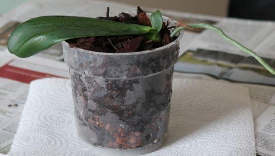 Voici les secrets et les conseils pour refleurir et redonner l'éclat à la reine des fleurs: L'Orchidée. 1. Placez le pot de votre orchidée dans un coin lumineux de la maison mais à l'abri du soleil. Et enlevez les caches pots. 2.Pour faire refleurir une orchidée défleurie: – 3 jours après la tombée des fleurs. …